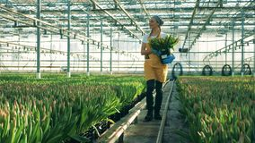 La persona camina en un invernadero cerca de filas con los tulipanes crecientes almacen de video
