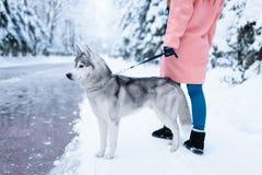 La personne féminine marche en parc avec le chien de traîneau sibérien Images stock