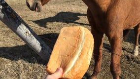 La personne a offert le pain d'un cheval et elle a refusé clips vidéos