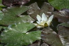 La perspectiva original en el lirio de agua blanca o la flor de loto Marliacea Rosea Nymphaea con el fondo oscuro de hojas mojada imagen de archivo