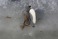 La pertica delle coperture dei bivalve si trova sul ghiaccio di un lago congelato fotografie stock libere da diritti