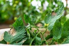 La peste o il phytophtorosis del pomodoro sulla pianta lascia nella serra Fotografia Stock