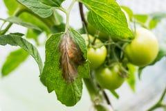 La peste o il phytophtorosis del pomodoro sulla pianta lascia nella serra Fotografie Stock