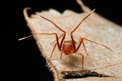 La petite araignée d'imitateur de fourmi montre ses pieds images libres de droits