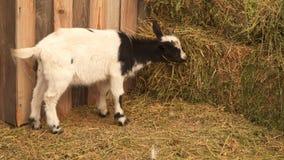 La petite chèvre mange le foin de la cuvette banque de vidéos