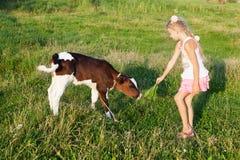La petite fille alimente un veau Photo stock