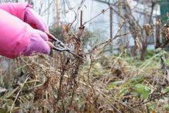 La petite fille coupe les cisaillements secs de branches Image stock
