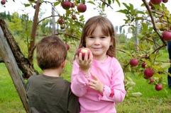 Pommes de cueillette Photographie stock