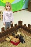 La petite fille tient les cobayes proches Zoo d'enfant en contact Photo libre de droits