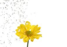 La petite fleur jaune étant irriguent Photos libres de droits