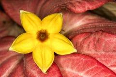 La petite fleur jaune entre les feuilles rouges se ferment  Photo libre de droits