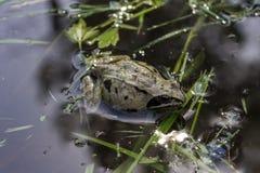 La petite grenouille flotte dans un étang chaud en été Photographie stock