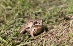 La petite grenouille va à sa maison Photographie stock libre de droits