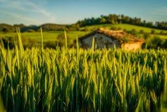 La petite maison dans un blé cultive Photographie stock