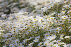 La petite marguerite fleurit le soufflement dans la tache floue de mouvement de vent au jardin Photographie stock libre de droits