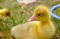 La petite oie jaune sur l'herbe Photos libres de droits