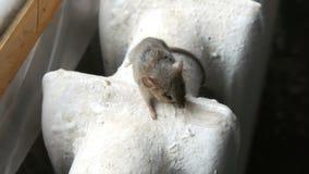 La petite souris de maison grise se repose sur une vieille batterie de chauffage de fonte de cru dans la maison banque de vidéos