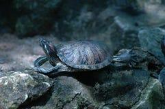 La petite tortue images libres de droits