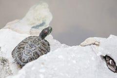 La petite tortue se dorent au soleil Image libre de droits