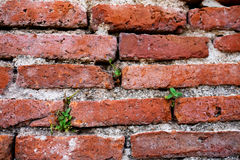 La petite usine grandissent dans le mur de briques rouge, fond de grunge de texture Image stock