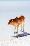La petite vache aiment la plage sablonneuse blanche aussi Images stock