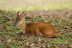 La petite vie de cerfs communs Photographie stock