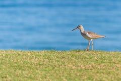 La pettegola comune cammina attraverso l'erba verde con la spiaggia ed acqua nei precedenti fotografia stock libera da diritti