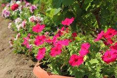 La petunia è rosa Fiori di estate nell'aiola Fotografia Stock