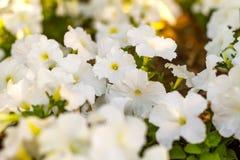 La petunia bianca fiorisce nel giardino nel parco fotografie stock