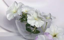La petunia blanca florece las flores blancas de la petunia de la petunia blanca Foto de archivo libre de regalías