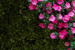 La petunia Hybrida è una pianta di fioritura che è bella, non è allergica ad altri tipi di fiori Immagini Stock