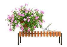 La petunia rosada florece en el banco de madera aislado en el backgroun blanco Fotos de archivo libres de regalías