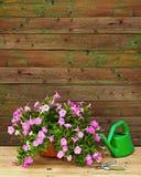La petunia rosada florece en maceta con los accesorios del jardín Foto de archivo