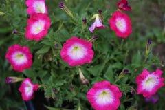 La petunia rosada muestra porciones de belleza foto de archivo