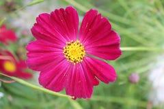 La petunia rossa incontra l'alba nel parco della città Fiore rosso della petunia su un fondo isolato fotografia stock