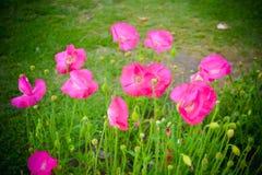 La petunia también llamó Cantorbery Belces es las plantas florecientes del origen suramericano La petunia es un género de plantas fotografía de archivo