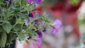 La petunia variopinta fiorisce nel vaso d'attaccatura, filante video d archivio