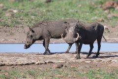 La phacochère deux avec de grandes dents boivent d'un point d'eau Photographie stock
