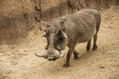 La phacochère masculine africaine a appelé des verrats avec des défenses et de grands acacias faciaux en Tanzanie photographie stock