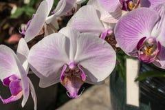 La phalaenopsis o le orchidee di lepidottero è una delle orchidee più popolari nel commercio Fotografie Stock Libere da Diritti