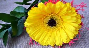 La photo étroite des fleurs jaunes de gerber Photographie stock libre de droits