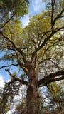 La photo d'un grand hêtre avec la chute part en automne images stock