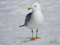 Mouette se pavanant sur la neige Photo libre de droits