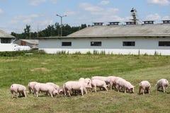 La photo de groupe de jeunes porcelets fonctionne sur l'herbe verte près de la ferme Photos libres de droits