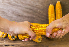 La photo de maïs, maïs de la Thaïlande Photo stock