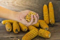 La photo de maïs, maïs de la Thaïlande Photographie stock libre de droits