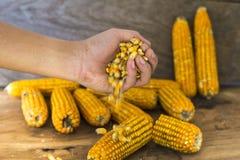 La photo de maïs, maïs de la Thaïlande Image stock