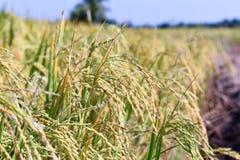 La photo de paysage, usine de riz de vert de gisement de riz Image stock