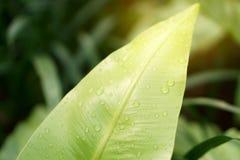 La photo de plan rapproché des gouttes de pluie sur la feuille verte fraîche de la fougère du nid de l'oiseau sous la lumière du  photos stock