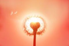 La photo de plan rapproché est pissenlit dans une lumière de lever de soleil Les FO molles sélectives Photos stock